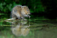 3 to 5 Month old-Wate Vole