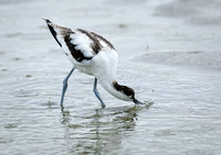 Avocet-young-feeding-in-the-rain-no-1